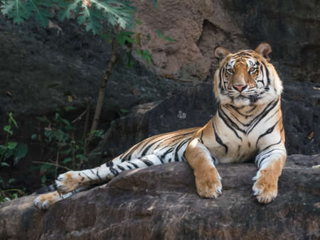 Portrait of a Royal Bengal tiger alert and staring at the camera on stone retro, Stock Photo
