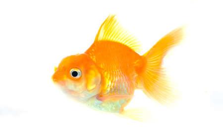 Gold fish on white background, Stock Photo