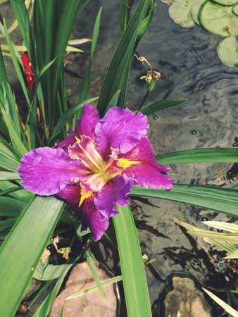 Purple Water Iris Reklamní fotografie