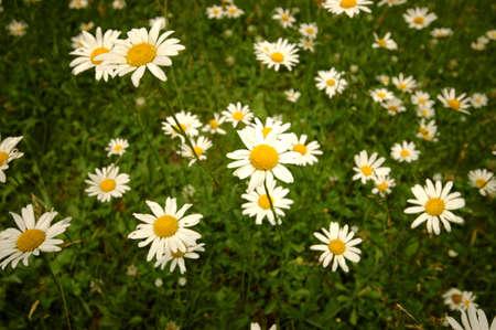 白と黄色の野生の花の大きなグループ