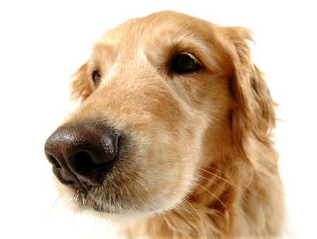 long nose: Golden retriever dog, taken at fun angle with wide angle lens Stock Photo