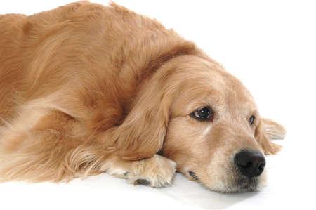 Sad face on a golden retriever photo