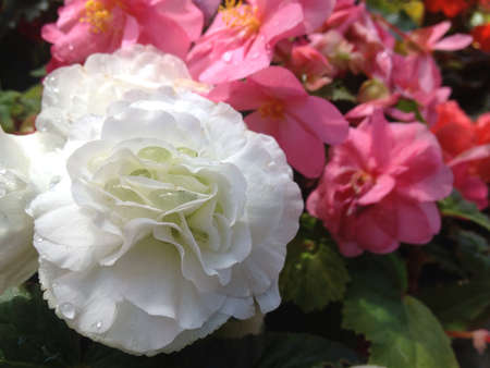 White flower with water drops in between petals and pink flowers