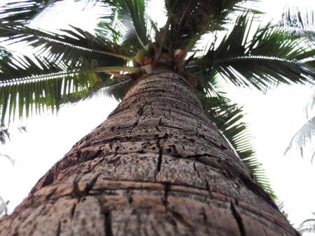 bole: Coconut