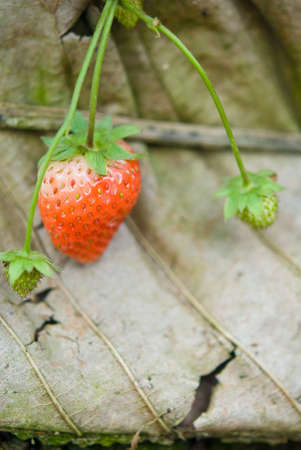Fresh & juicy strawberry still with stem photo