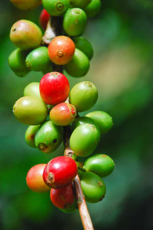 bush bean: riped coffee berry on stem Stock Photo