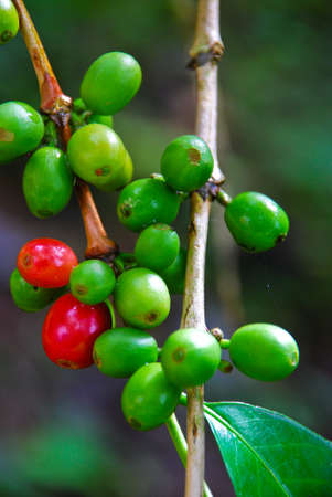 riped coffee berry on stem photo