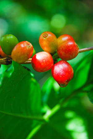 coffee berry: riped coffee berry on stem Stock Photo