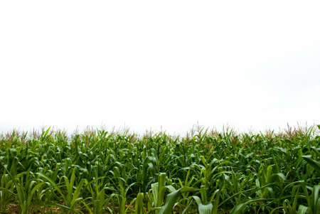 corn crop: Isolate sky and Corn field Stock Photo