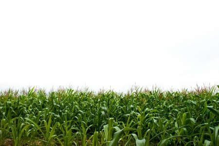 corn field: Isolate sky and Corn field Stock Photo
