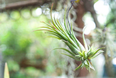 tillandsia: Hanging tiny Tillandsia in garden Stock Photo