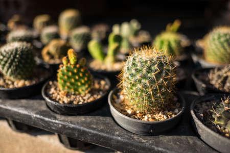 dim light: Small cactuses in black plastic pots in dim light Stock Photo
