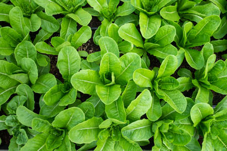 lettuces: Top view of Fresh and Healthy Green cos lettuces from Farm ready for make Tasty Salad Stock Photo