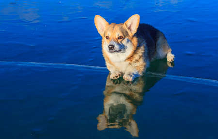 The Welsh Corgi lays on the ice