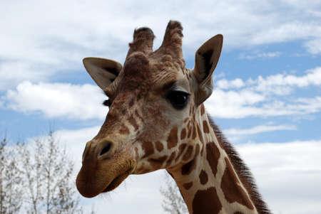 Cute Face of Giraffe Stock Photo