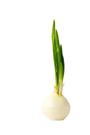 Yellow Onion Bulb with Growing Green Spring Leaves Isolated on White Background Archivio Fotografico