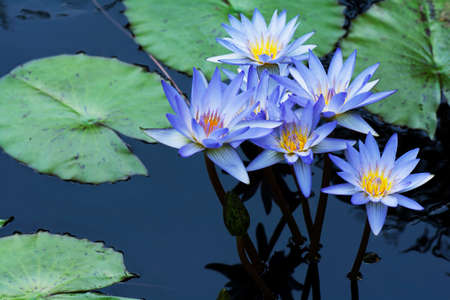 Group of blue water lily lotus flowers with the lotus plants in the water