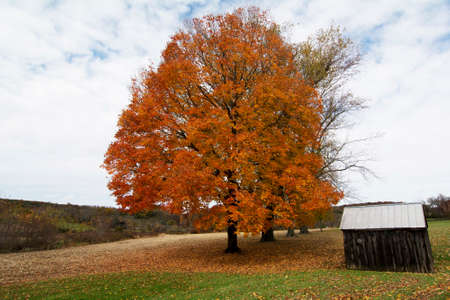 farm building: Dark brown wood farm building  in front of the colorful and bright maple tree in Autumn