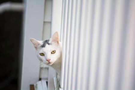 gato jugando: Los ojos amarillos gato blanco cabeza fuera de la cubierta de blanco, gato joven lúdica en la cubierta, gato que juega afuera en el hogar mirar a escondidas, Foto de archivo