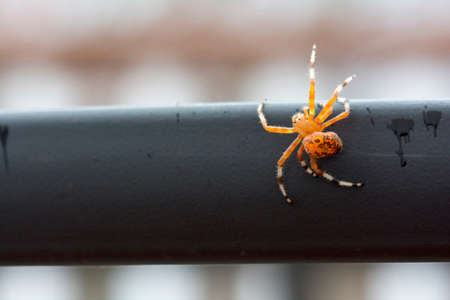 ubiquitous: Bright colorful orange marbled orb weaver spider on the edge of the table