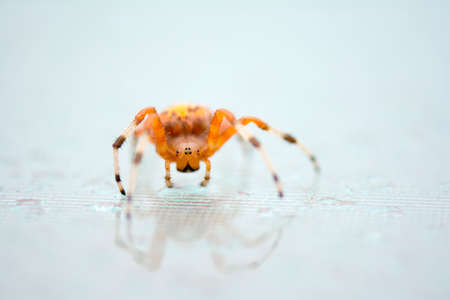orb weaver: Close up bright colorful orange marbled orb weaver spider on the glass table selective focus on the eyes