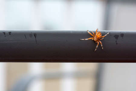 orb weaver: Bright colorful orange marbled orb weaver spider on the edge of the table