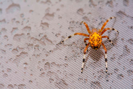 Bright colorful orange marbled orb weaver spider on the glass table