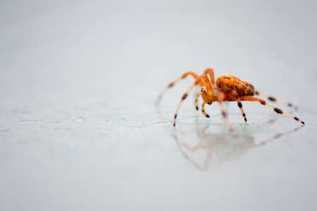 Bright colorful orange marbled orb weaver spider on the glass table shooting from the side