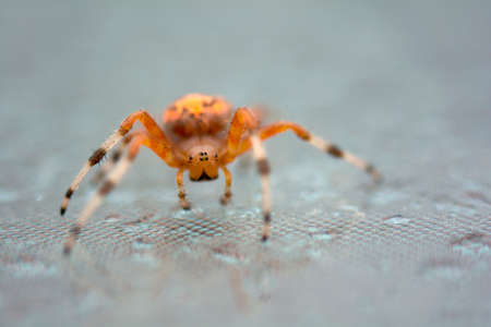 orb weaver: Bright colorful orange marbled orb weaver spider on the glass table