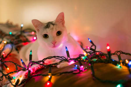 laying forward: White kitty cat laying down on sofa looking forward surrounded by christmas light, relaxing cat, Holiday pet Stock Photo