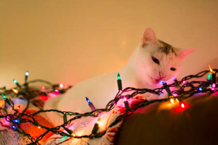 laying down: White kitty cat laying down on sofa playing christmas light, relaxing cat, Holiday pet