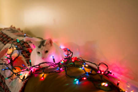 laying forward: Blured white kitty cat laying down on sofa looking forward surrounded by christmas light, relaxing cat, Holiday pet Stock Photo
