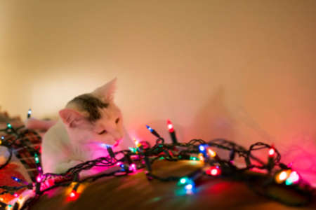 laying down: Blured white kitty cat laying down on sofa  playing with christmas light, relaxing cat, Holiday pet