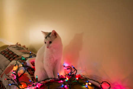 laying forward: Blured white kitty cat sitting down on sofa surrounded by christmas light, relaxing cat, Holiday pet Stock Photo