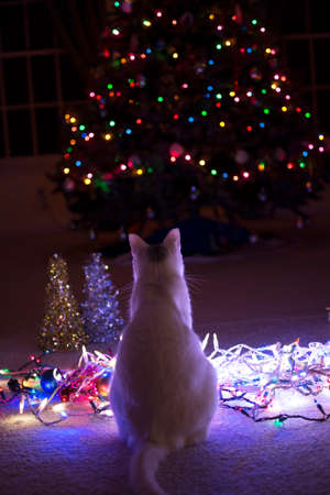 kitty cat: White kitty cat sitting on the floor watching the christmas tree lights