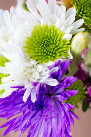 Close up green white and purple chrysanthemum flower background