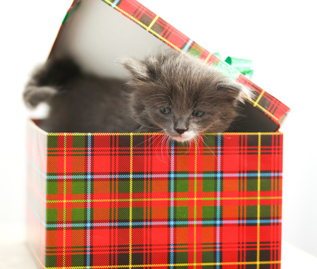 whiskers: Grey and nice little kitten with a white whiskers staying in the checkered box. Close up