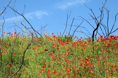 red poppies on green field: picture of green field with beautiful red poppies