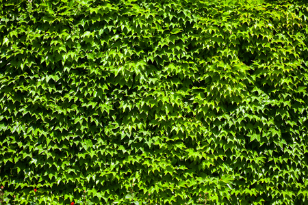 big leafs: Big nature wall from green leafs