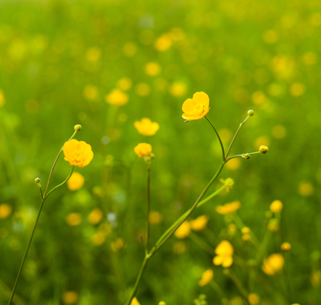 officinal: Close-up bright view of beautiful summer blossom buttercups in the field Stock Photo
