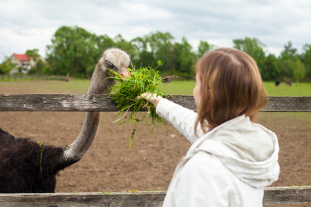 eating area: Woman in white coat is giving fresh green grass to tall ostrich at the ostrich-farm with beautiful nature Stock Photo