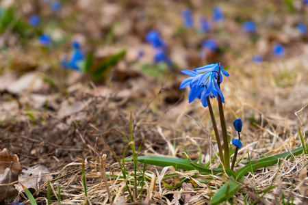 Closeup of blue snowdrop flowers in the forest