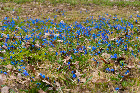 A lot of blue snowdrop flowers in the spring forest Stock Photo