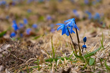 Blue beauty snowdrop flowers in the forest Stock Photo