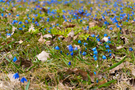 Beauty spring blue snowdrop flowers in the forest Stock Photo