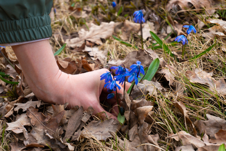 Woman touching blue snowdrop flowers in the forest