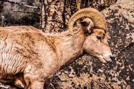 rocky mountain bighorn sheep: Bighorn Sheep grazing on a hillside in Yellowstone National Park, wyoming, usa
