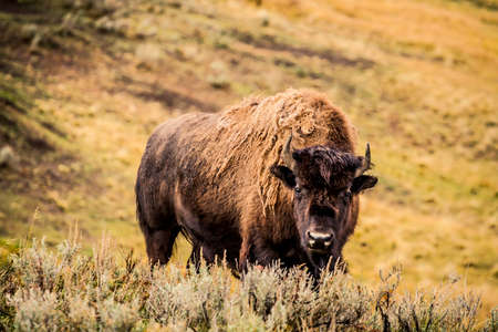 American Bison at Yellowstone National Park in Wyoming, USA Stock Photo