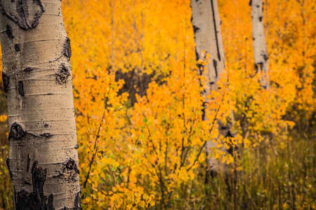Aspen trees with colorful leaves in autumn
