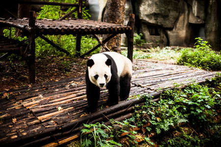 Giant Pandas playing and eating in Chengdu, China